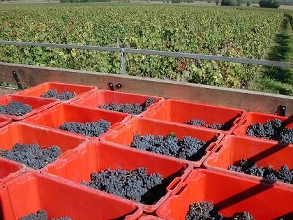 vendange vigne