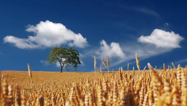 champ de blé mur