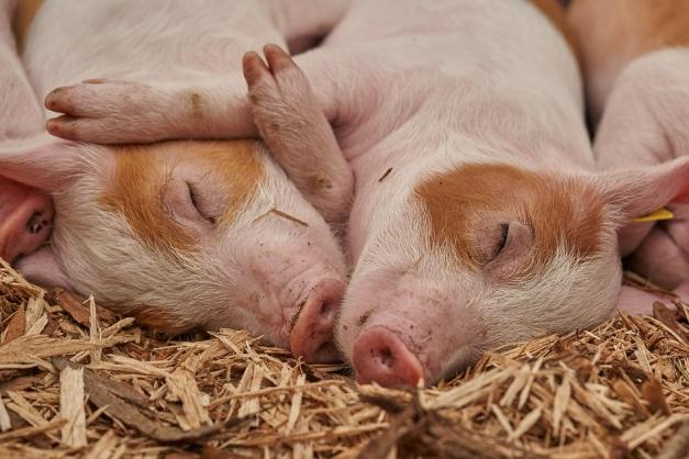 Porcs endormis