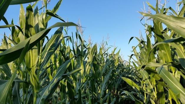 En France, la récolte de maïs est en cours