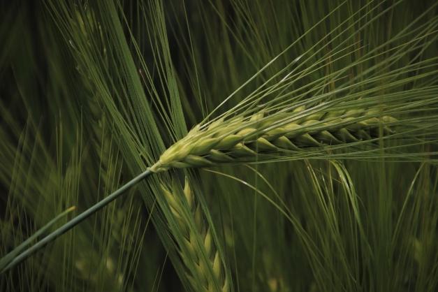 blé au printemps
