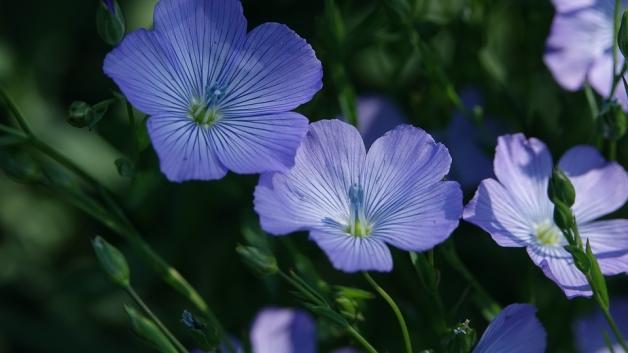 fleur de lin, culture répandue en Normandie