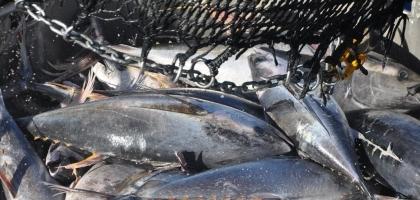 pêche de thon