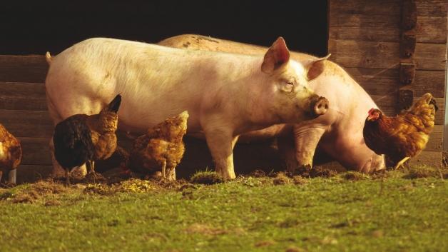 poules et cochons