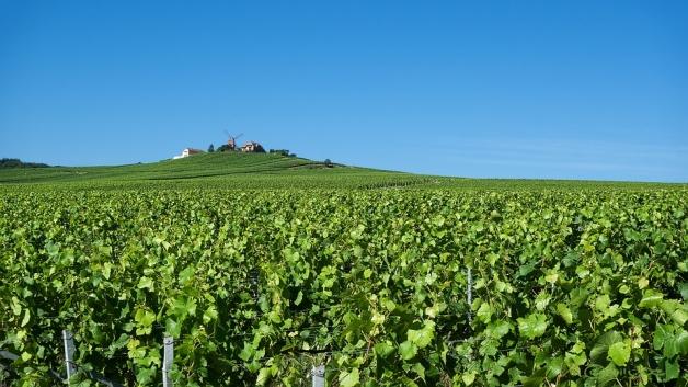 vignoble à proximité de Reims, en région Champagne