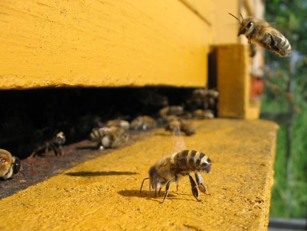 photo d'une abeille sortant de la ruche