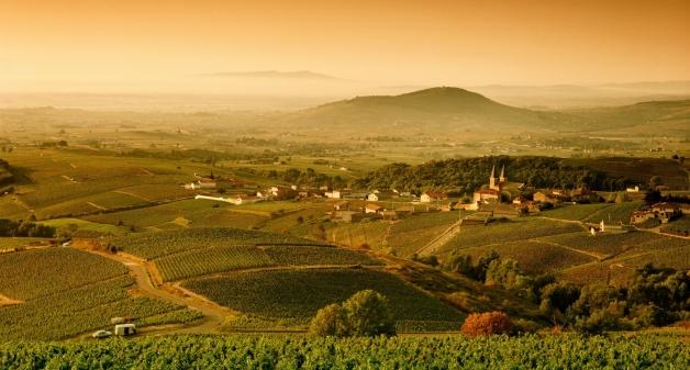 champs de blé et vigne