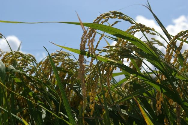 photo de culture de riz