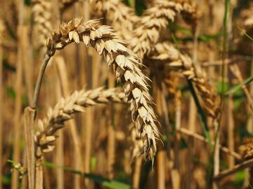 brin de blé