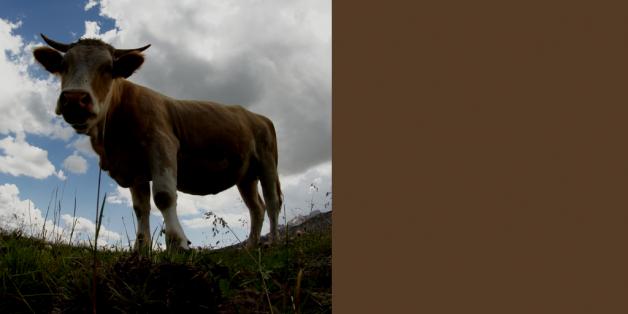 Vache de montagne