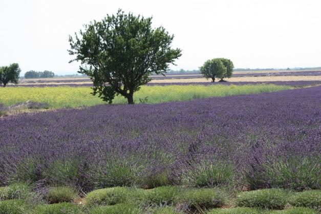 photo d'un champs de lavande