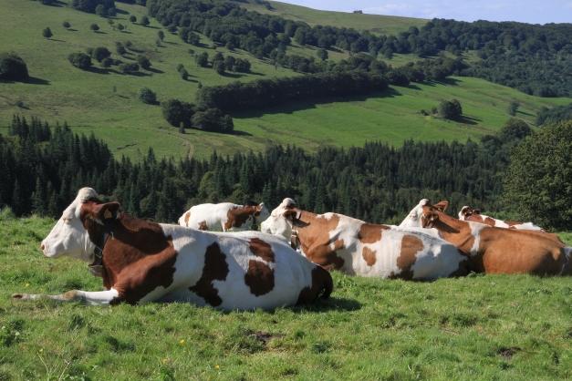 troupeau de vache laitière