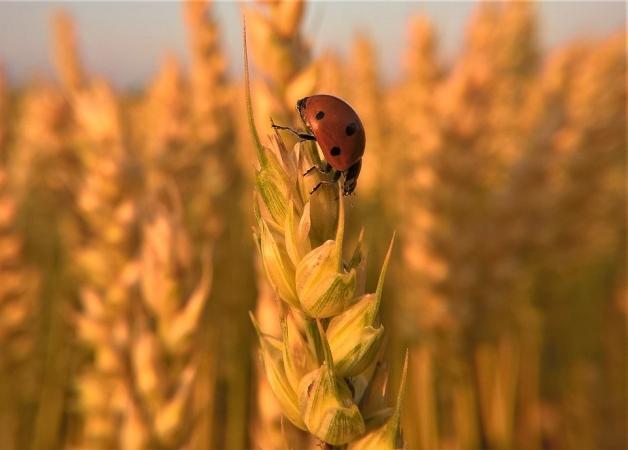 blé et coccinelle
