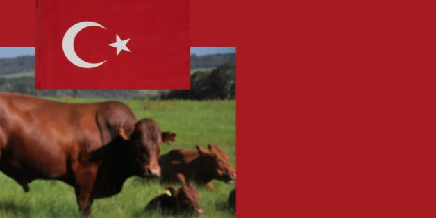Draêau turc et bovins