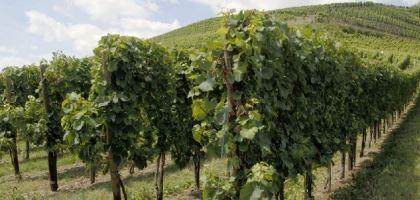 photo de vignes