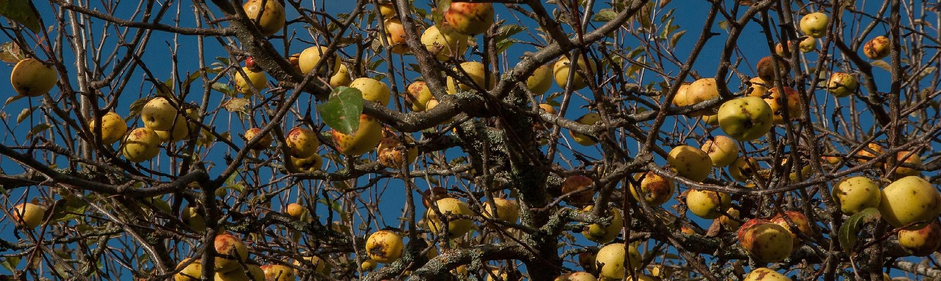 pomme à cidre