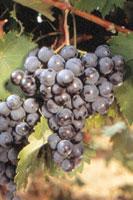 Mieux conna tre le vin la fili re en bref vin vin et - Taille vigne raisin de table ...