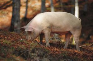 Porc / Photo FranceAgriMer
