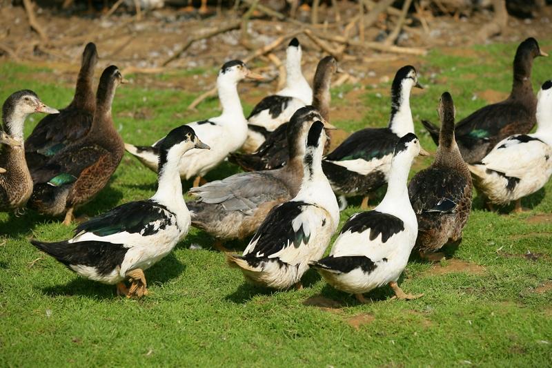Bande de canards