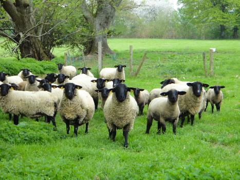 Elevage d'ovins